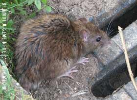 Rattenbekämpfungen München